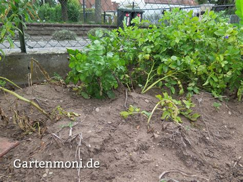 wann kartoffeln pflanzen wann kartoffeln pflanzen kartoffeln pflanzen und ernten