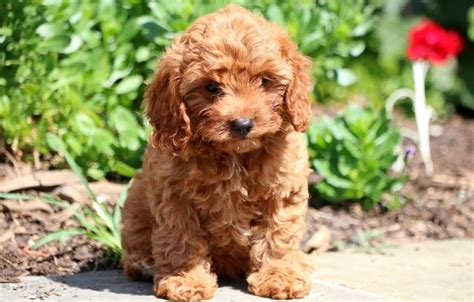 cavapoo puppies for sale in pa best 25 puppies for sale ideas on