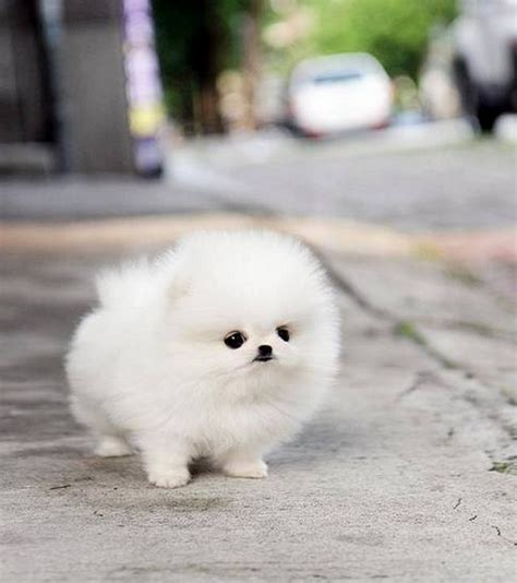 pomeranian puppies white pomeranian puppies a shameless quot aaaaahhhh quot post lazer