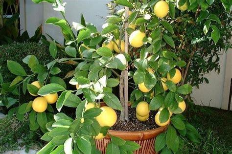 limoni coltivazione in vaso limone meyer piante da giardino limone meyer giardino