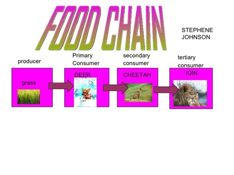 cheetah food chain diagram cheetah food chain