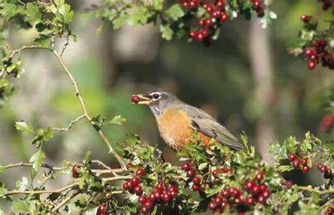 american robin turdus migratorius wildlife journal junior