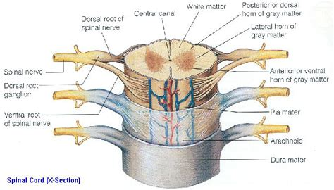 gallery cross section of nerve cord human anatomy diagram