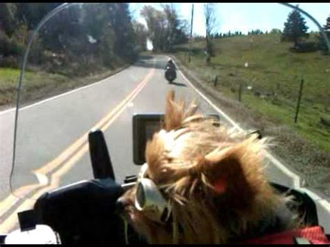 yorkie on motorcycle yorkie motorcycle somewhere in maine