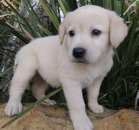 labradors puppies labrador puppy