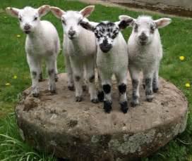 Cute lambs hoe grange holidays