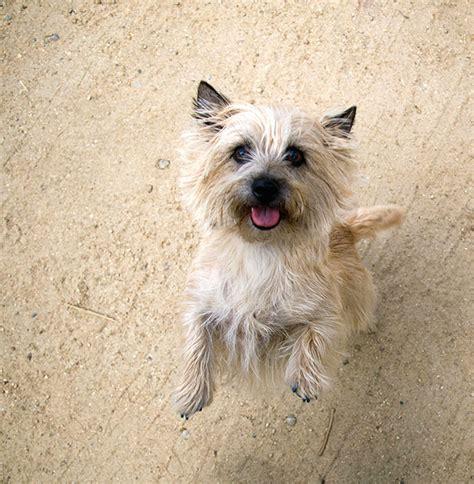 brindle cairn haircut brindle cairn haircut what is a cairn terrier haircut