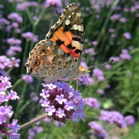 giardino farfalle giardino per le farfalle plantula