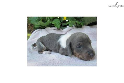 dachshund puppies for sale in greensboro nc dachshund puppies for sale near me