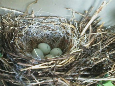 house finch eggs pictures house finch nesting 28 images house finch nest 2