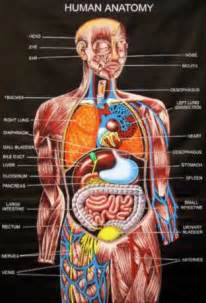 Inner anatomy of the human body female anatomy and physiology related