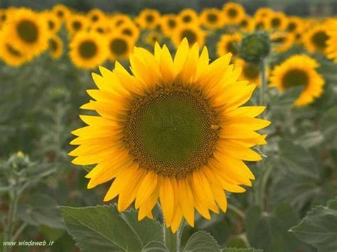 foto fiori foto girasole gratis per sfondi desktop