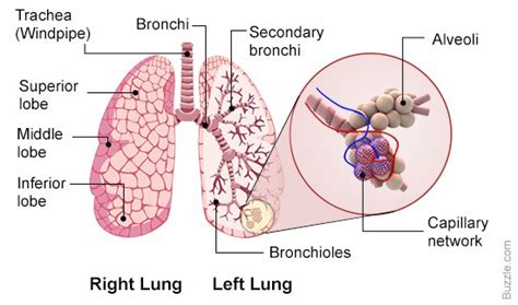 Diagram Of The Lungs With Labeled