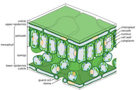 mesophyll cell diagram file leaf tissue structure svg