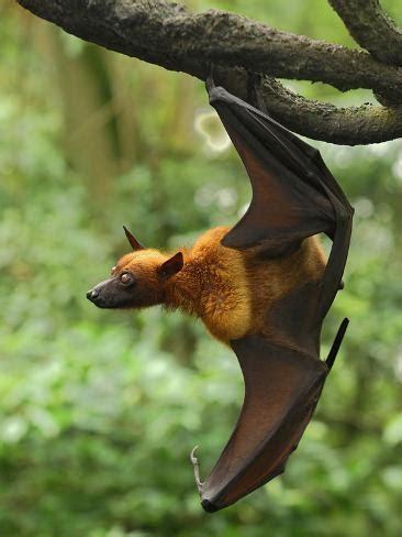 pipistrello volpe volante malayan flying fox pteropus vyrus malaysia