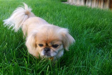 pekingese poodle lifespan information on a chihuahua pekingese mix animals me