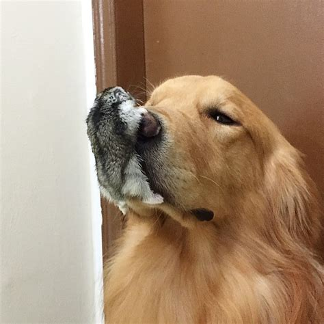 huffington post golden retriever this golden retriever snuggling with his bird and hamster besties proves knows no
