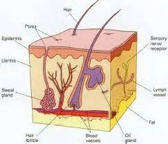 longitudinal section of the skin outer layer of skin myteachersquest2