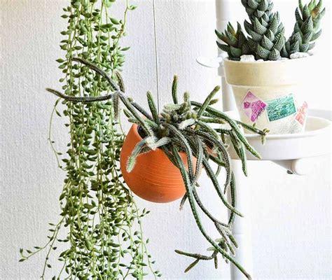 tanaman hias gantung tahan panas kaktus bunga tanaman