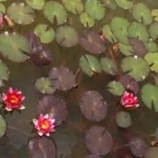 Tanaman Cattail Bulrush jual tanaman air hias bibitbunga