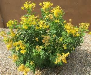 yellow bells arizona desert xeriscape