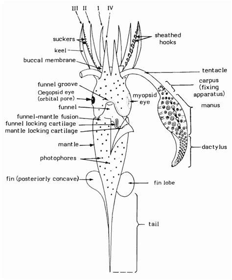 squid labeled diagram file composite diagram illustrating basic squid features