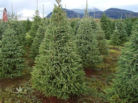 mini live christmas tree