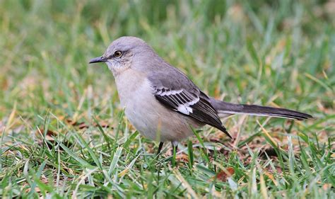 how to get rid of mockingbirds in 3 simple steps may 2018