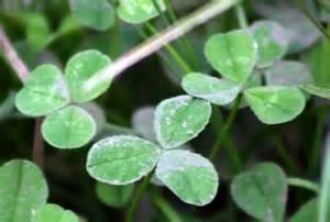 medicinal plants white clover