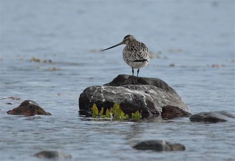 tywkiwdbi quot tai wiki widbee quot the bar tailed godwit can