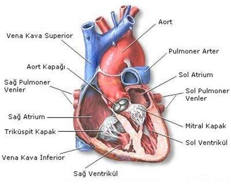 kalbiniz hakkında bilmeniz gereken şey www