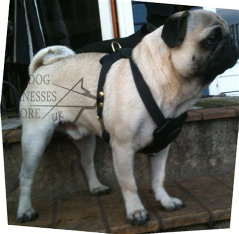 pug harness padded harness for pug pug harness uk 163 45 00