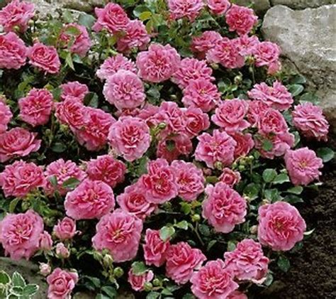 ground cover roses my dream garden pinterest