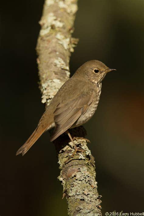 a little brown bird