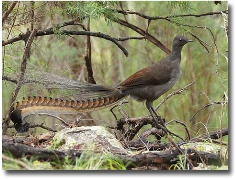 australian lyrebird one amazing copy cat