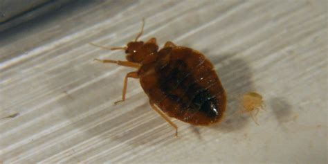 introduction to bed bugs bed bugs get them out and keep them
