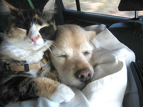 calico golden retrievers reader photos fighting like cats and dogs yeah right 40 exles of and cat