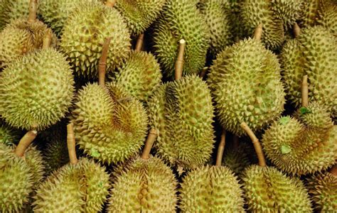 Bibit Durian durians 8 myths and facts about the king of fruits