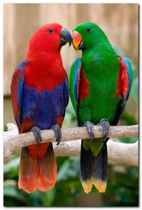 eclectus parrot weneedfun