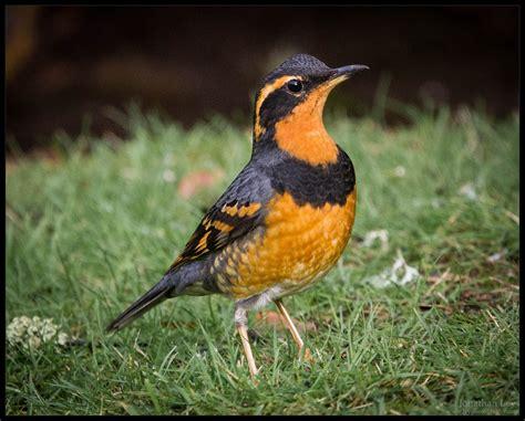 photography by jonathan ley wildlife refuges varied thrush