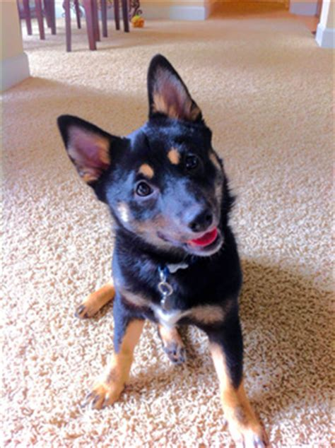 shiba rottweiler mix rottweiler german shepherd mix pictures breeds picture