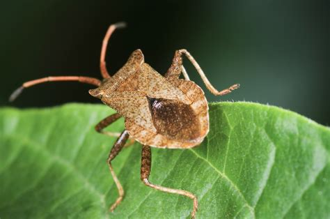 bed bugs arizona kissing bug dangers and control arizona exterminating co