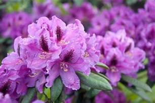 plant pick for march rhododendron sloat garden center
