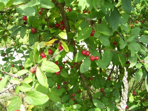 shrub with red berries