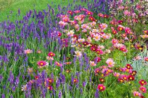 Garden Flowers Annuals A Lasting Summer Duo For Your Borders Lavender And Cosmos