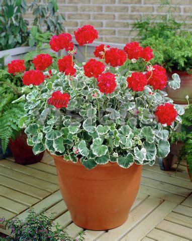 wilhelm langguth geranium  love  variegated foliage