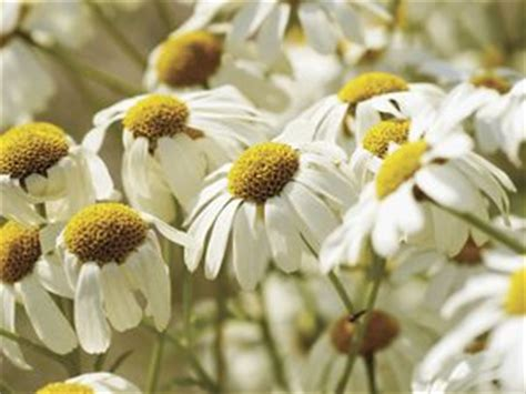 chamomile safe for cats panacur for treating giardia in cats pets
