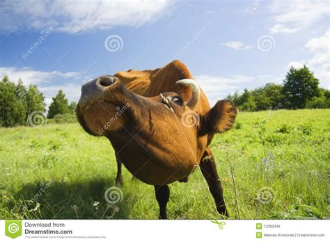 only eats from cow eats grass royalty free stock image image 12362346
