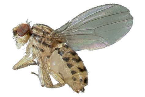 images of fruit flies learn about fruit flies fruit fly identification