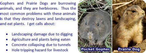 how to get rid of gophers in your backyard best gopher wire for lawns contemporary electrical